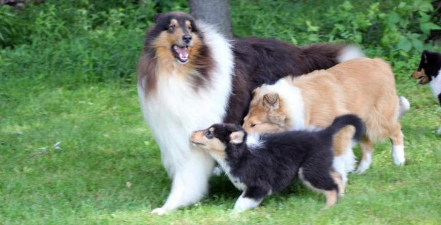 Collie Puppies for Sale in PA